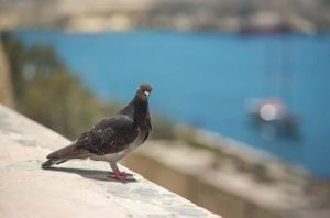 dove in Malta